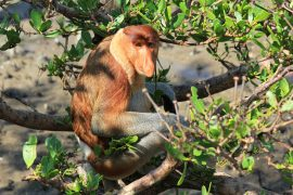 Sarawak, Wildlife, Long nosed monkey, jungle, National Park, Malaysia, Baku Park, monkey,