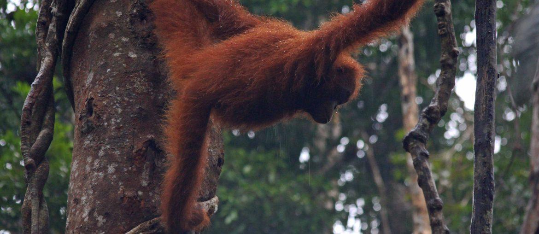 Borneo Rundreise, Orang Utan, Kinabatangan, Regenwald