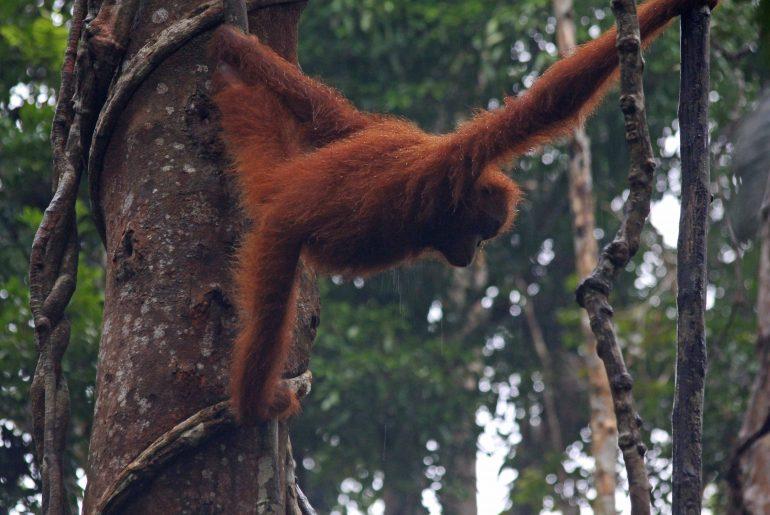 Wild Orang Utan, Rainforest, Borneo, Malaysien,